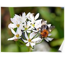 "Bee on White Allium ""Graceful"" Poster"