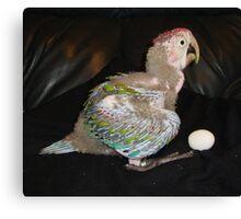 Macaw 6 Weeks Canvas Print