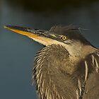 Great Blue Heron by Wayne Wood