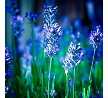 Lavender Blue Photographic Print