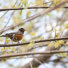 Robin in Spring by Steven David Johnson