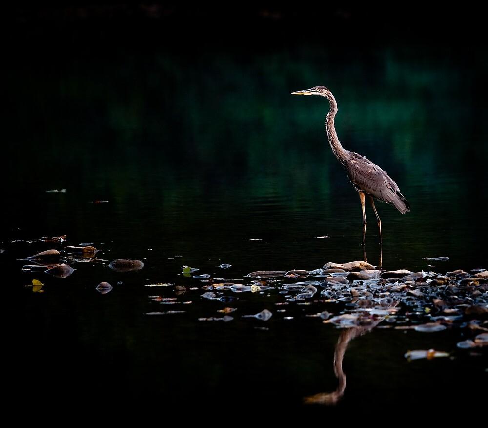 Great Blue Heron, Shenandoah River, North Fork by Steven David Johnson