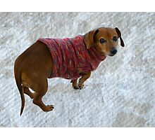Snausage In A Sweater Photographic Print