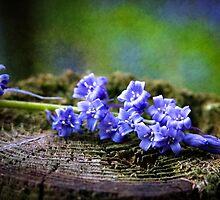 Scottish Bluebells by StuartStevenson