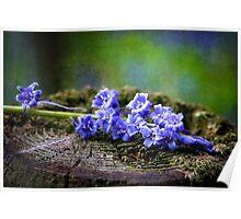 Scottish Bluebells Poster