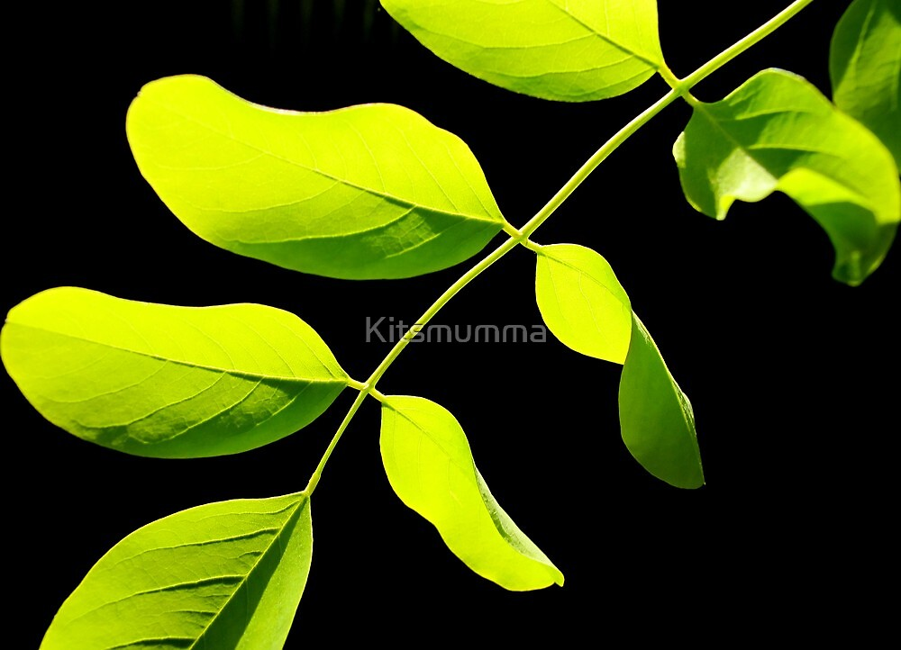 Acacia #3 by Kitsmumma