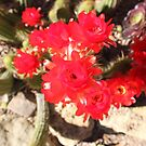 Red Cactus Flowers by blindskunk