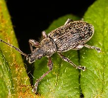 Weevil on leaf by Gabor Pozsgai
