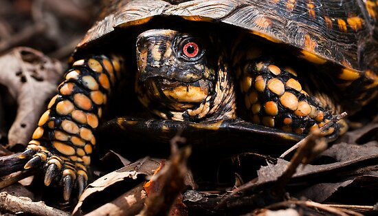 Box Turtle, Virginia by Steven David Johnson