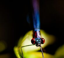 Damselfly, Cootes Store, Virginia by Steven David Johnson