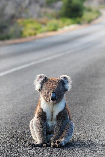 Koala by Cheryl Ridge