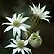Flannel Flowers by Dianne English