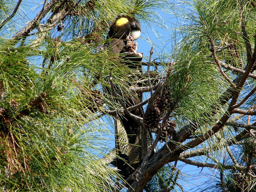 Loving those Pine-cones by byronbackyard