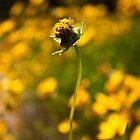 Daisy by David Petranker