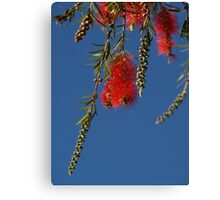 Bottle Brush - Outback - Australia Canvas Print