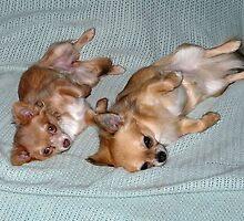 chihuahuas in sinc by badboyz