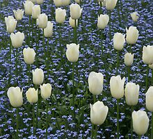Tulips & Forget-me-nots by John Keates