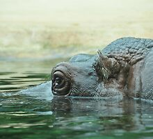 Hippo-cam by Christian Froehlich