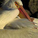 North American Pelican by Lee-Anne Carver