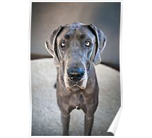 Lupe the Great Dane Poster