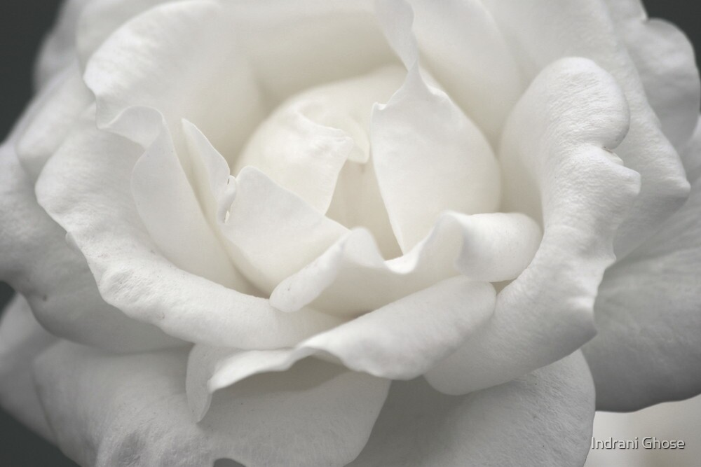 Pure White  by Indrani Ghose