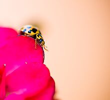 Yellow Ladybird on Red Patel by Kingston  Liu