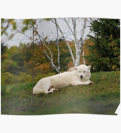 The Arctic Wolf Poster