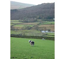 sheep in duddon valley Photographic Print