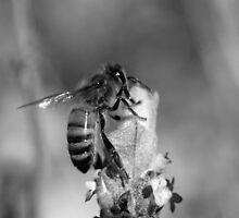 Busy Bee - NSW by CasPhotography
