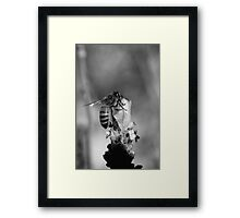 Busy Bee - NSW Framed Print