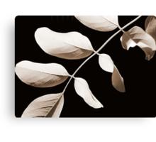 Acacia in Sepia Canvas Print