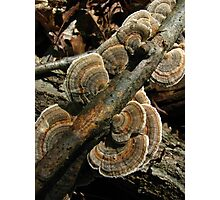 Turkey Tail Photographic Print