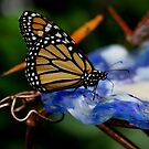 Butterfly  by photoloi