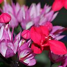 pink and red flower by gillyisme53
