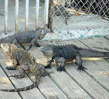 La Parguera Iguanas by rudyrude