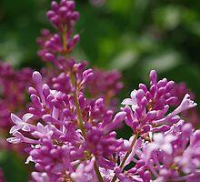 Rosy-lavender lilac blossom by rvjames