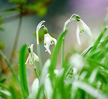Snowdrops by BonniePhantasm
