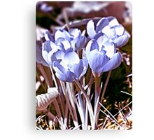 Crocus Infrared Canvas Print