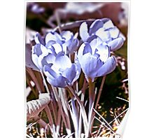 Crocus Infrared Poster