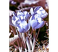 Crocus Infrared Photographic Print