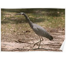 White Faced Heron Poster
