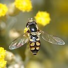 Hoverfly on curry bush flowers by Edge-of-dreams