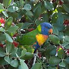 A Visiting Rainbow Lorikeet by Mark Prior