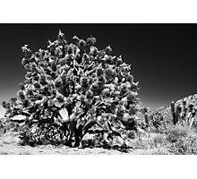 joshua tree - mojave Photographic Print