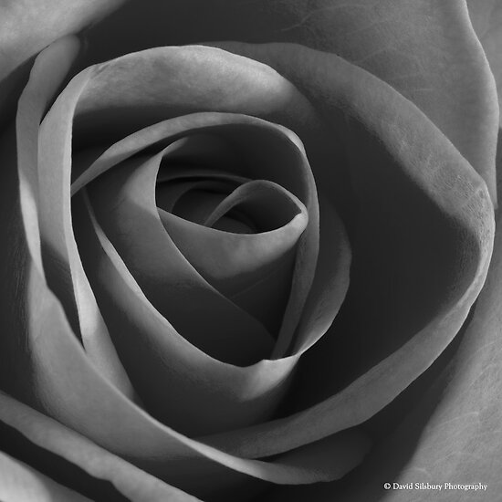 Monochrome Rose by David's Photoshop
