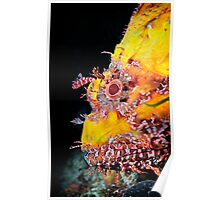 A scorpionfish, up close and personal Poster