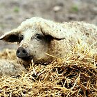A bed of straw by Alan Mattison
