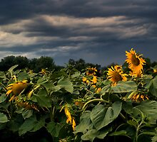 Storm Of The Sunflowers  by John  De Bord Photography