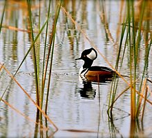 Hooded Male Merganser by victor246