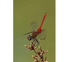 Red-Tailed Pennant Photographic Print